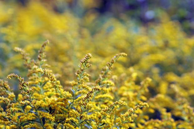 цветущая амброзия