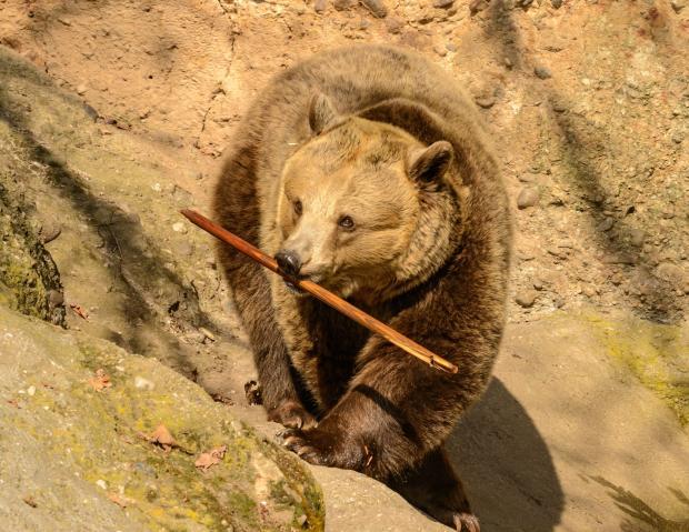 большой медведь с палкой в зубах