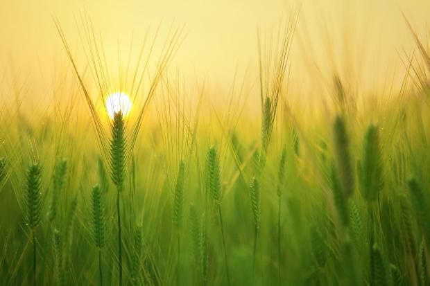 поле с зелеными колосьями, восход солнца