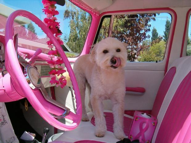 белая собака стоит на сиденье розового салона авто