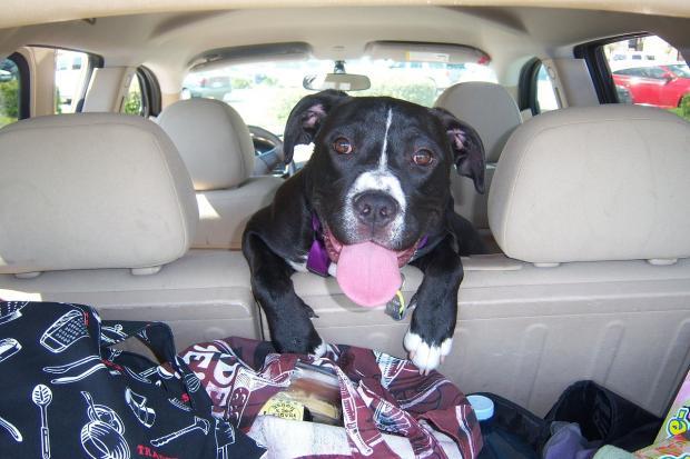 черная собака с высунутым языком в автомобиле
