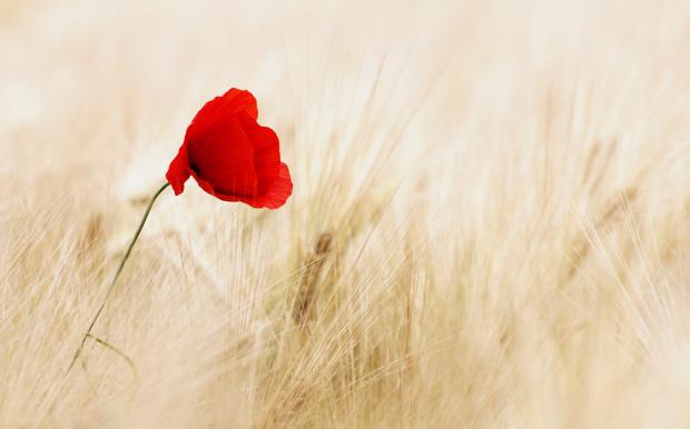 цветок мака на поле