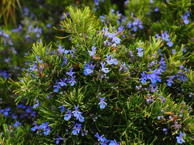 розмарин цветет голубыми цветами