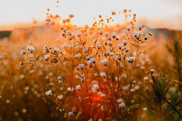 белые цветы на поле