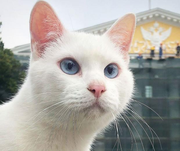 белый кот Ахилл