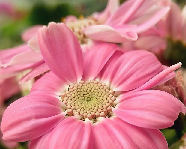 большой розовый цвето