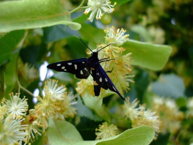 бабочка на липовых цветках