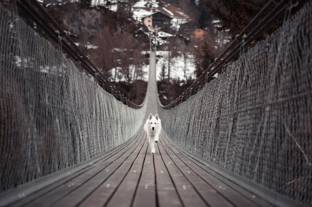 собака бежит по мосту