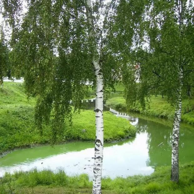 две тонкоствольных березки стоят на берегу реки