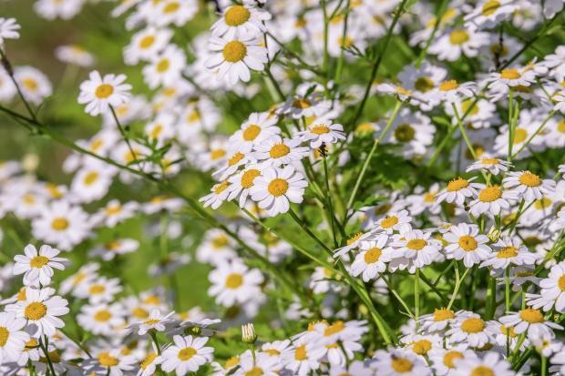 на поляне цветут ромашки