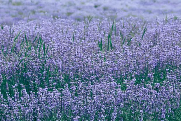 поле цветущей лаванды