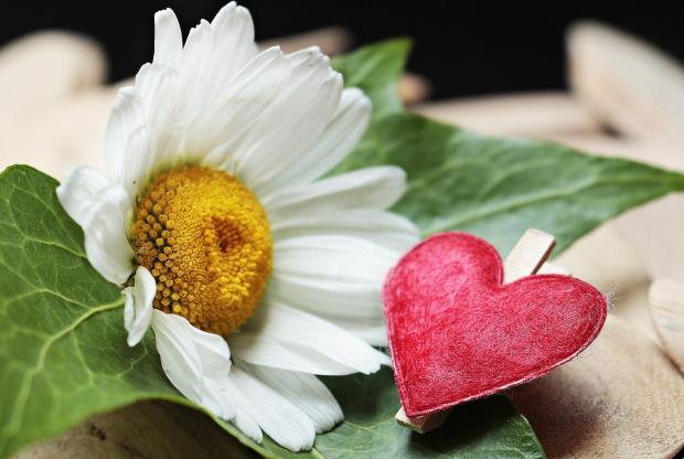 игрушечное сердце лежит рядом с белой ромашкой