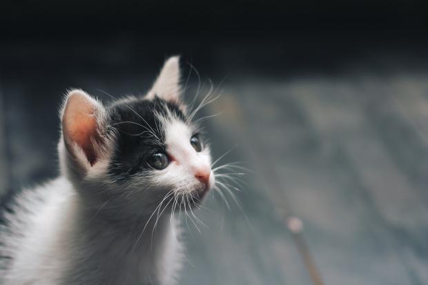 маленький черно-белый котенок