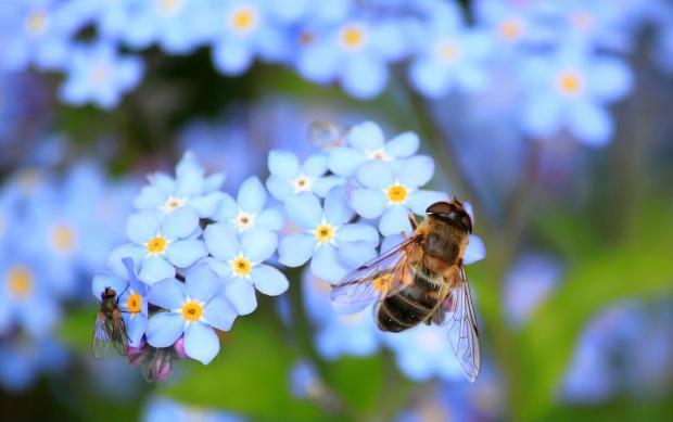 пчела сидит на мелких голубых цветах