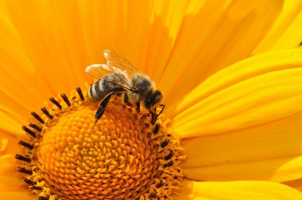 пчела сидит на ярком желтом цветке