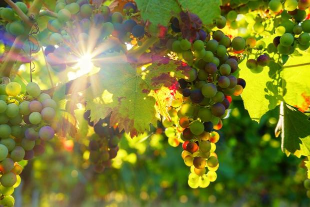 солнце просвечивает сквозь виноградные грозди