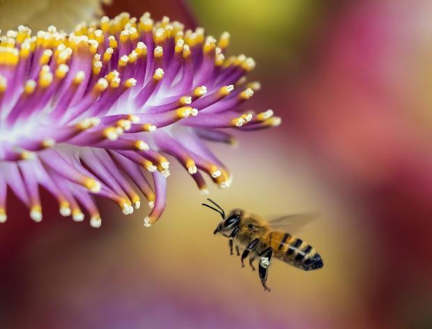 пчела летит к фиолетовому цветку