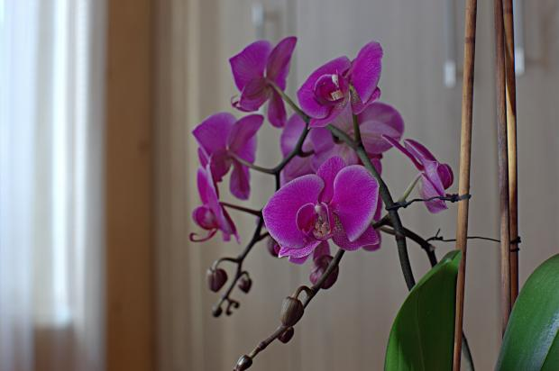 растет нежная орхидея