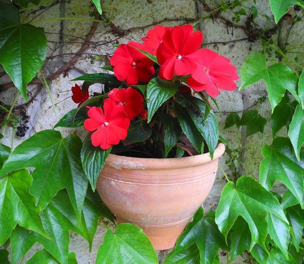 красный цветок растет в керамическом горшке
