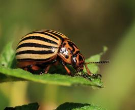 Как защитить картофель от колорадского жука: 5 эффективных приемов