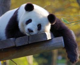 Гигантская панда исключена из списка исчезающих животных