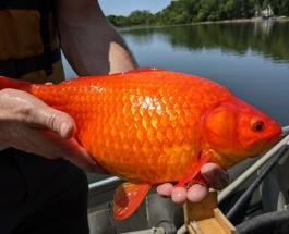 Власти штата Миннесота обеспокоены появлением гигантских золотых рыбок в местном озере