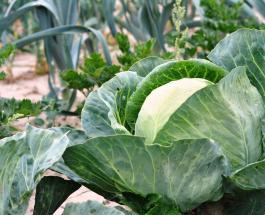 8 причин добавить белокочанную капусту в ежедневный рацион: польза овоща