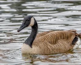 Любовь и верность в мире животных: история больного селезня и заботливой утки покорила сеть