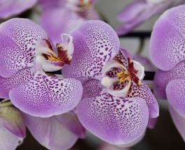 Секреты ухода за орхидеями: как правильно поливать и на какое окно ставить