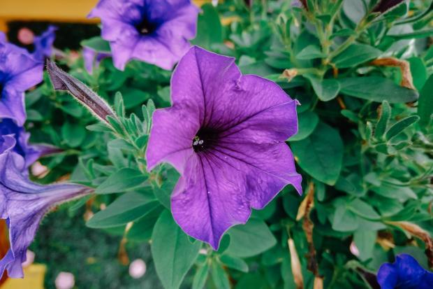 крупные цветы петунии