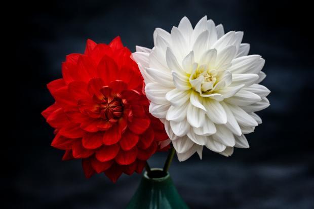 в вазе стоят белый и красный георгин