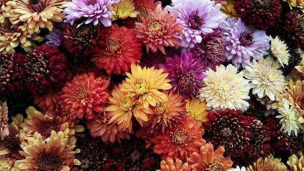 растут разноцветные хризантемы