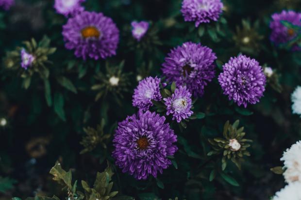 растут фиолетовые астры