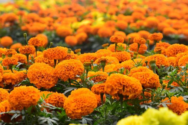 оранжевые и желтые бархатцы растут