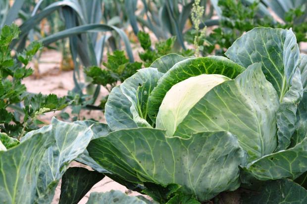 белокочанная капуста на огороде