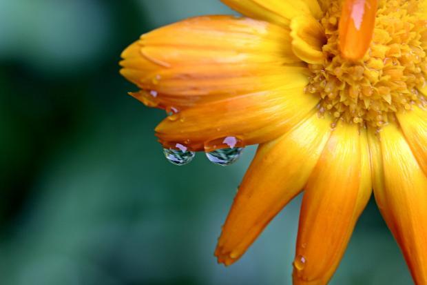 оранжевый цветок с каплями росы
