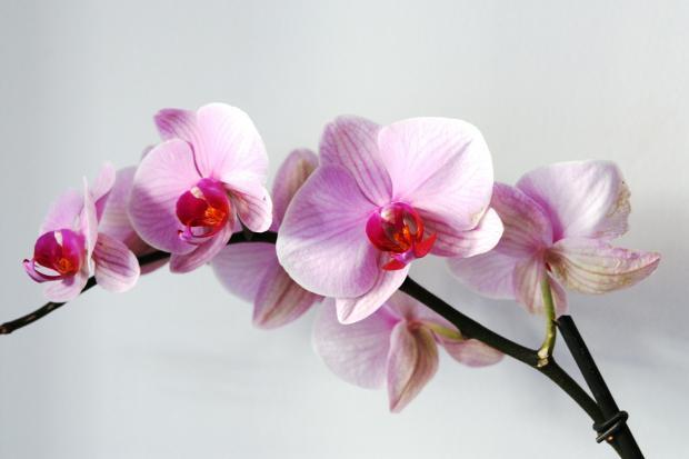 ветка орхидеи с цветками