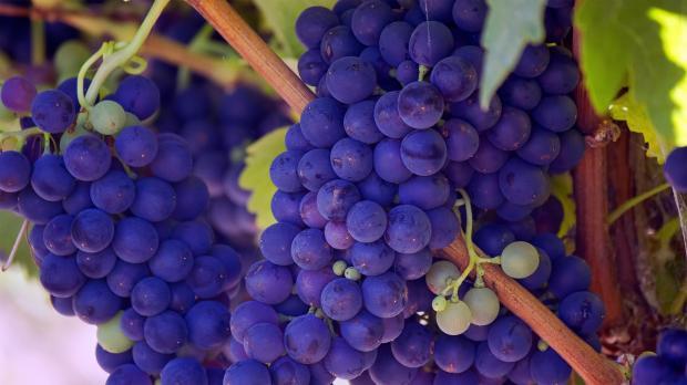 гроздья синего винограда