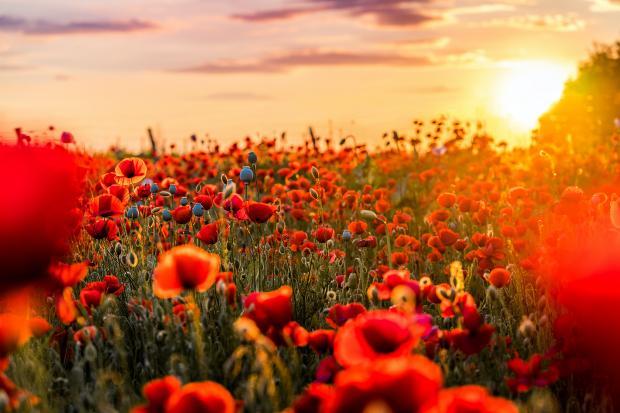 красные маки на поле и заходящее солнце