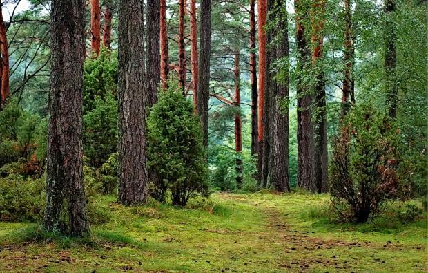 в лесу растут сосны