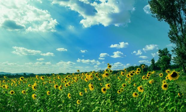 поле цветущих подсолнухов