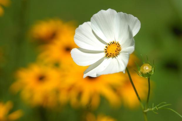 Белый цветок на поле
