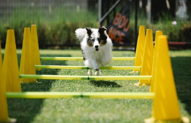 собака белого окраса бежит через барьеры желтого цвета