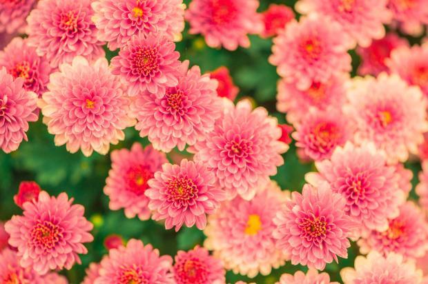 розовые цветы