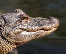 Видео голодного аллигатора в зоопарке Калифорнии стало вирусным в сети