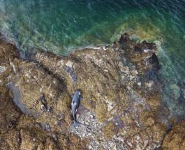 Жители Аляски спасли косатку, застрявшую на берегу во время отлива