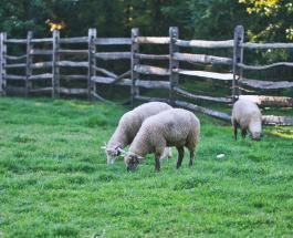"""Австралийский фермер """"нарисовал"""" сердце стадом овец в память о близком человеке: видео"""