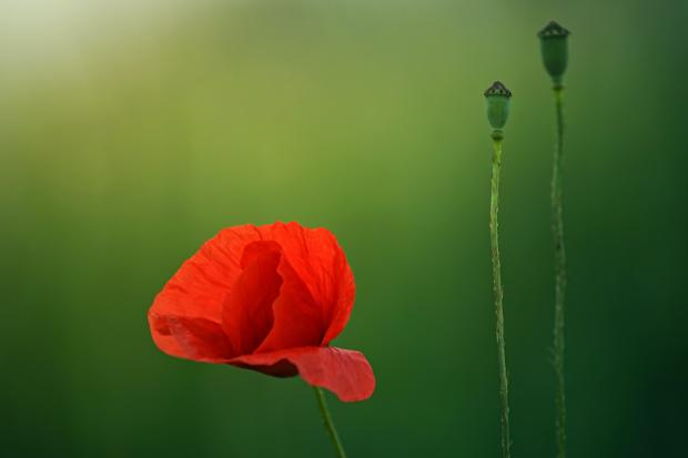 красный мак на зеленом поле