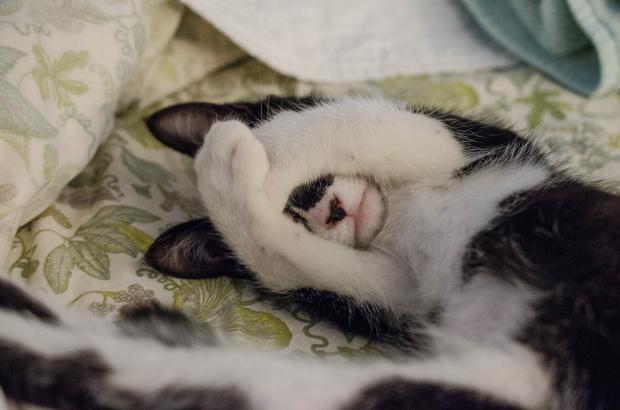 кошка закрыла лапами морду