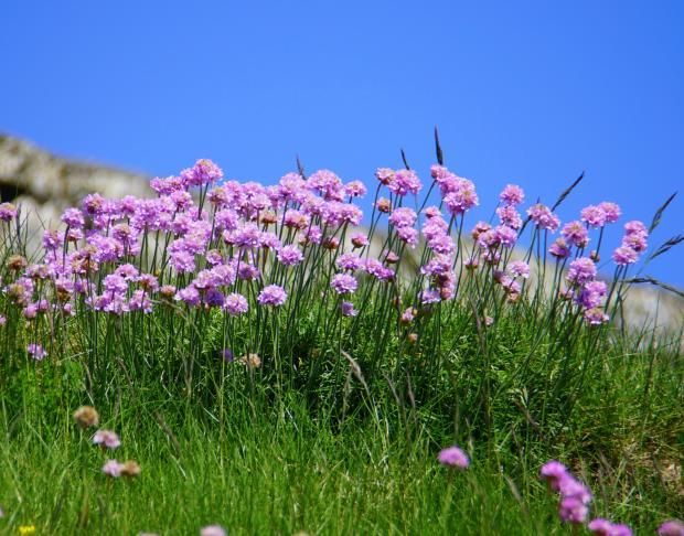 фиолетовые цветы на зеленой траве